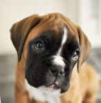 Boxer pup detail