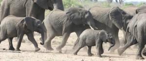 Rennende-olifanten 50%